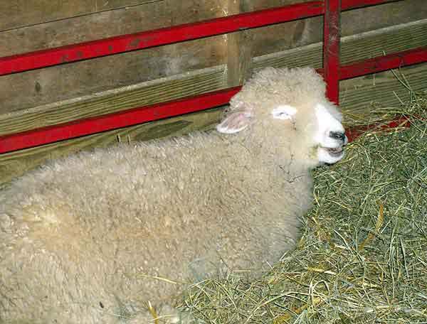 Sheepchuckling