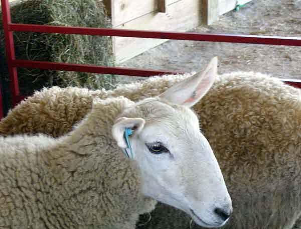 Sheepbigears