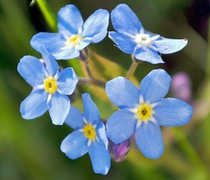 Forget-Me-Not-Flowers-300x257
