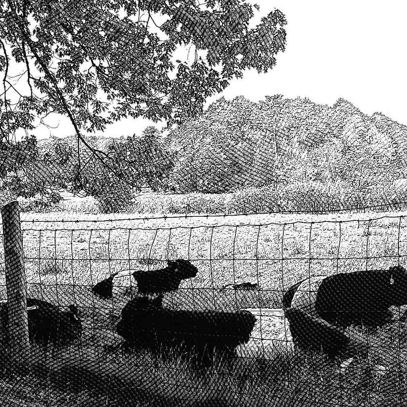 Belted Galloways Etching