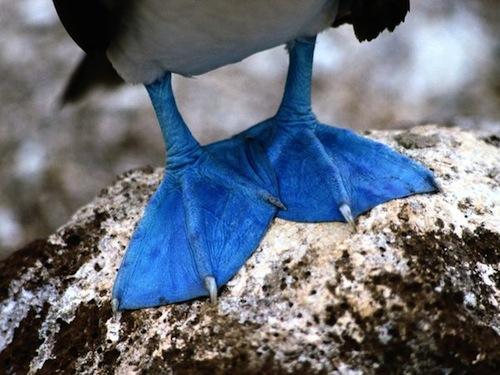 Blue-feet-laman_1331_600x450