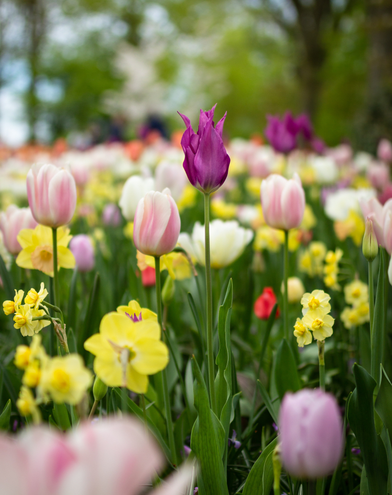 Depth-of-field-photography-of-tulip-flowers-1076607